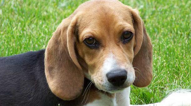 Científicos crían primer perro del mundo clonado con edición genética