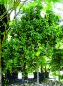 Productores de aceite de guaconejo usan árboles con muerte natural
