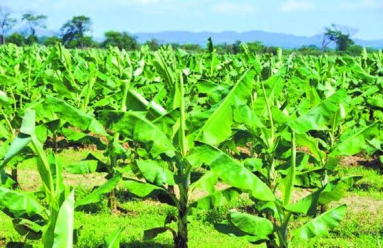 Una de las plantaciones de banano recuperada de las inundaciones