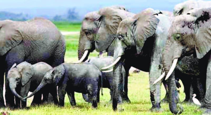 Wikelski documentó a los elefantes indonesios que se trasladaron a un terreno seguro antes del tsunami