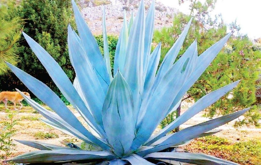 la planta mala madre ayuda a bajar de peso