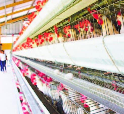 Una moderna granja de gallinas ponedoras del país.