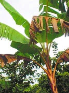 ANPA: sigatoka afecta platanales de Barahona