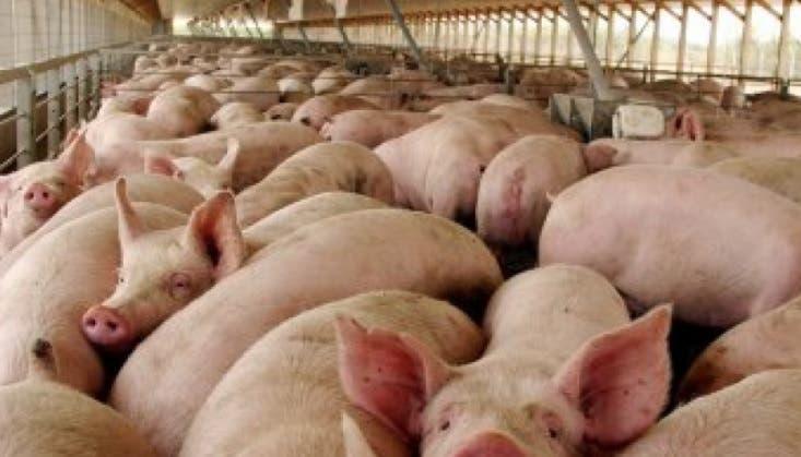 China: Peste porcina en República Dominicana afectará intercambio comercial