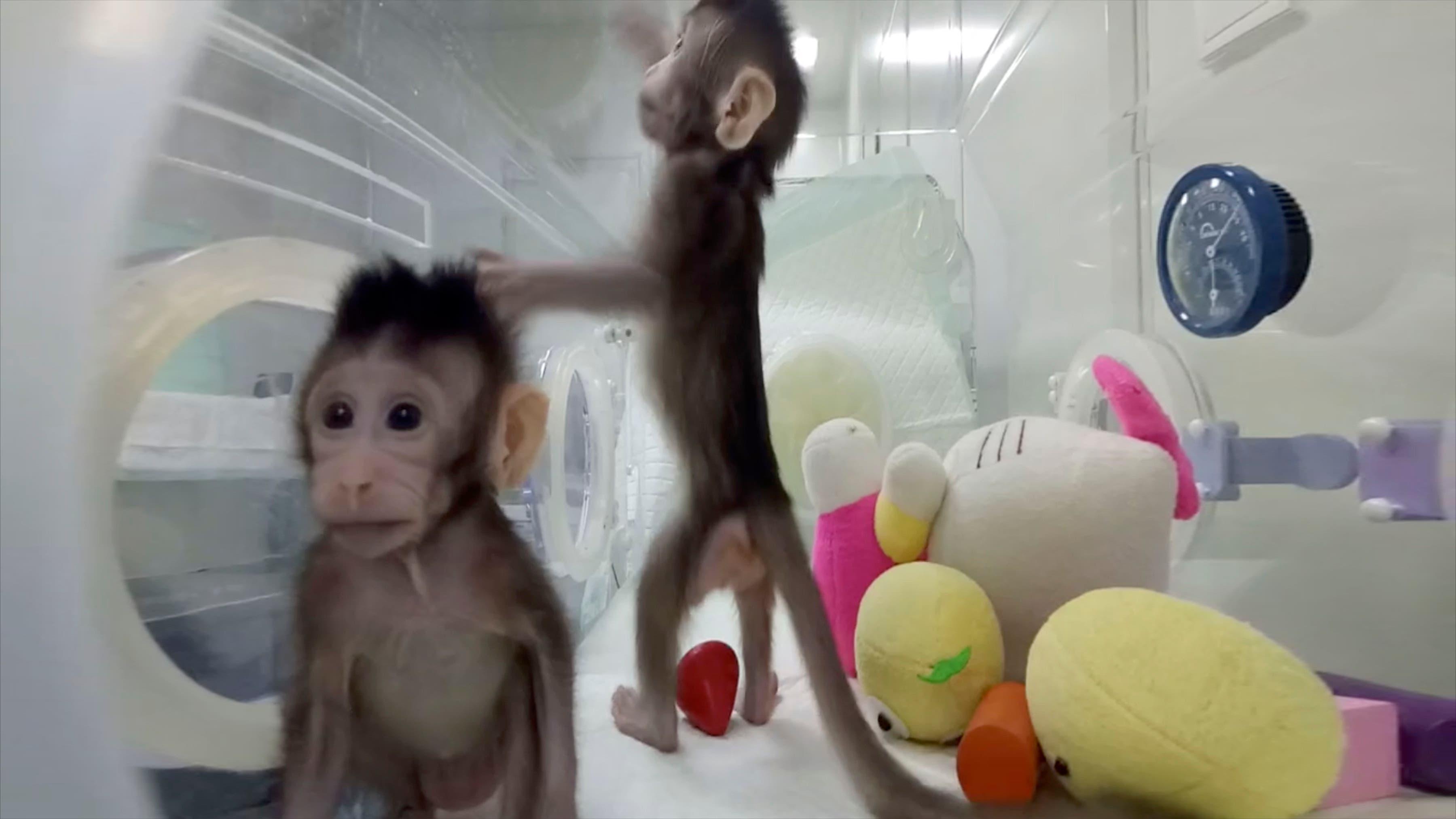 Clonan a dos macacos: ¿Se prepara la ciencia para hacerlo en humanos?