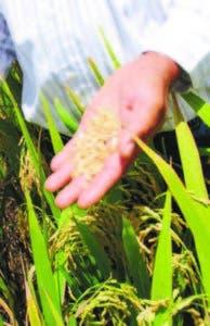 Muestra arroz sistema intensivo