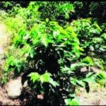 Una zona de la cuenca del río Mahomita, de Los Cacaos, reforestado con café.