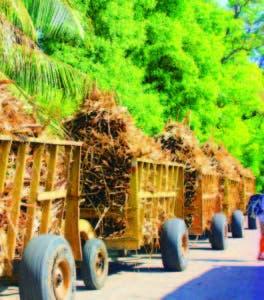 El bagazo de caña es utilizado para producir energía por biomasa
