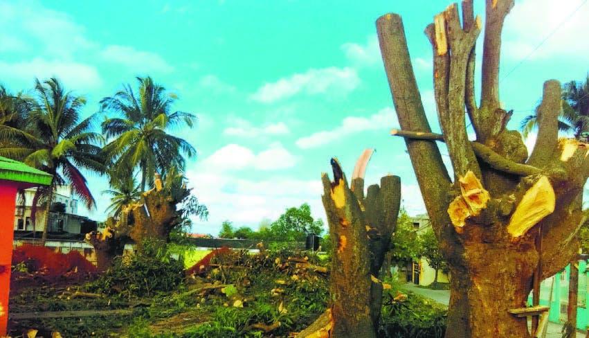 Parte de los árboles cortados por disposición del cabildo.