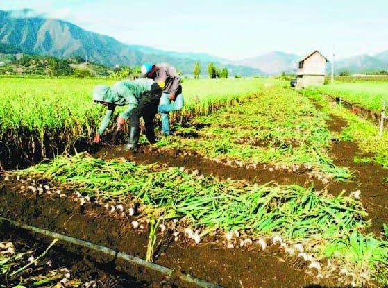 Productores cosechando ajo en una plantación de Constanza
