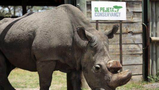 Muere Sudán, el último macho de rinoceronte blanco del mundo