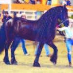 Uno de los elegantes caballos de pura raza que participó en el rodeo de la Feria Agropecuaria