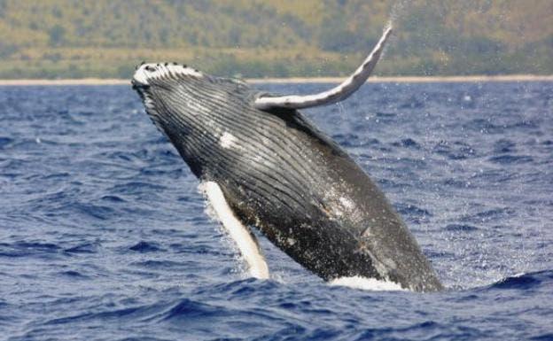 """Las ballenas boreales son los """"músicos de jazz"""" del océano"""