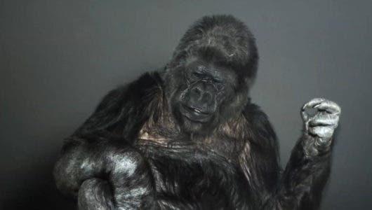 """Muere Koko, la gorila capaz de """"hablar"""" a través del lenguaje de signos"""