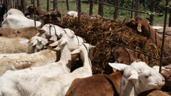 Alimentación alternativa de ovinos y caprinos a partir de la preparación que realizaron los participantes en curso impartido por el CONIAF.