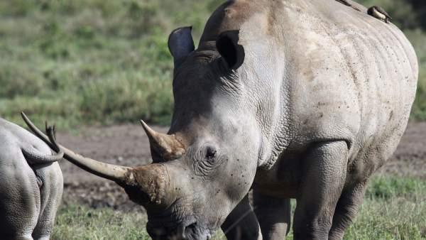 Mueren 8 rinocerontes en intento de traslado