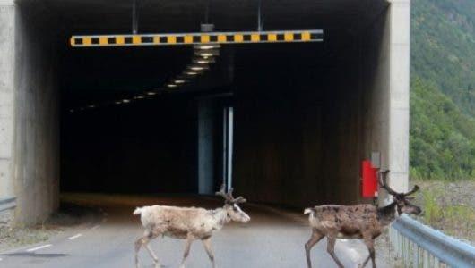 El calor récord en Noruega lleva a los renos a refugiarse en los túneles