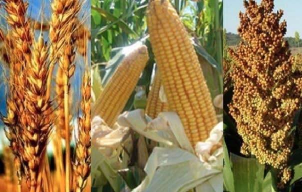 RD podría ser afectada por escasez de granos básicos ante plagas por falta lluvias