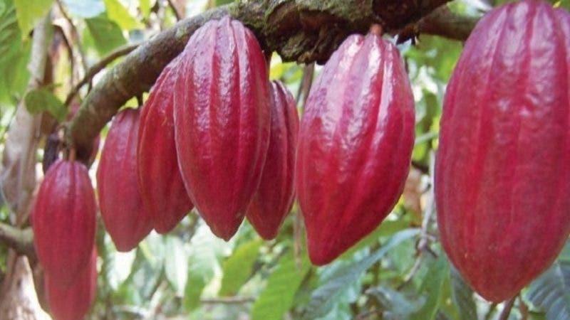 Una de las variedades de cacao del paós.