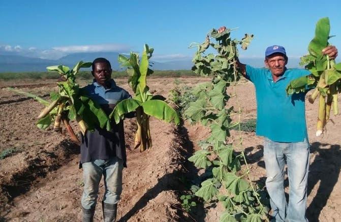 Agricultores denuncian turba dirigida por funcionario del CEA le destruye sembradíos