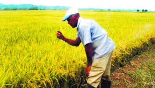 Sequía dejó al sector arrocero pérdidas  de RD$1,400 millones