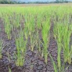 arroz-sequia