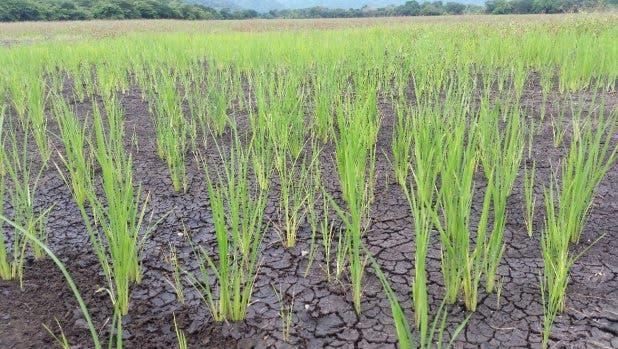 Sequía baja la producción de arroz en San Juan, registran pérdidas millonarias