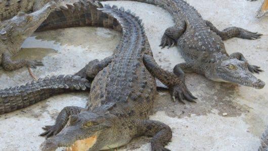 El Cabaniguán cubano,   paraíso de los cocodrilos