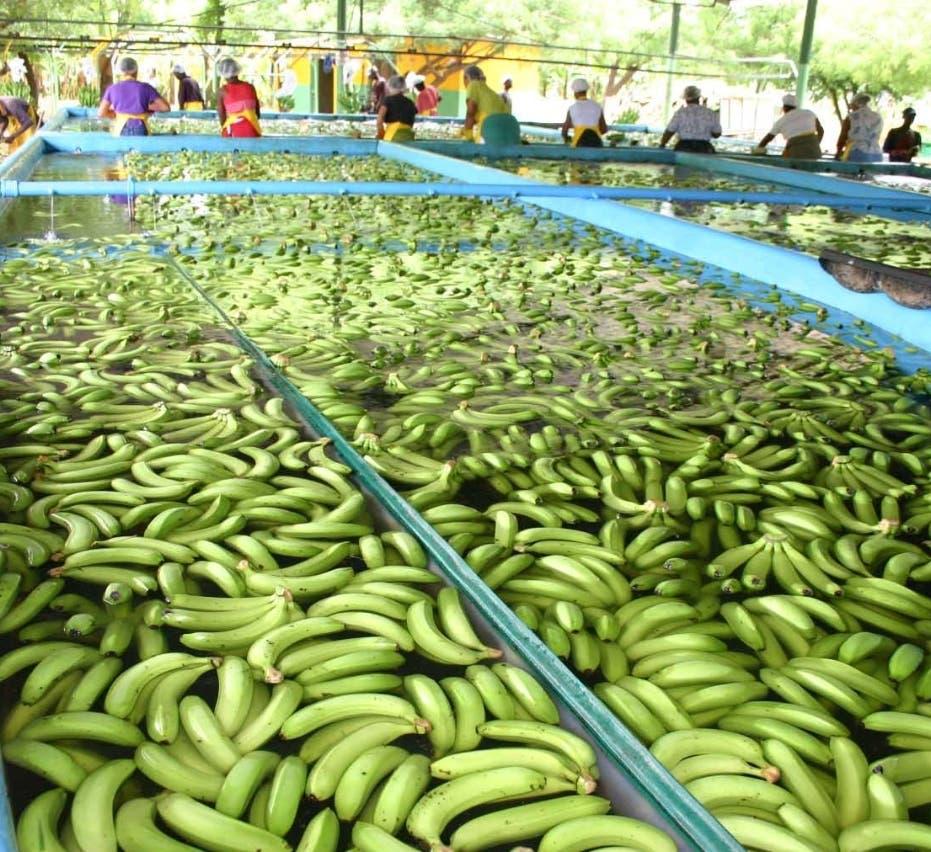 CONIAF publica  guía sobre banano  y plátano adaptada a las condiciones de RD