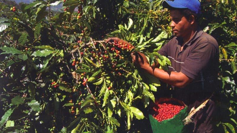 cultivo de cafe.