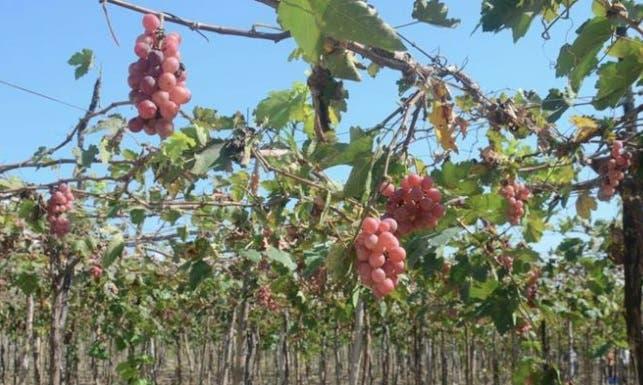 Productores de uva pedirán destitución de director de Inuva