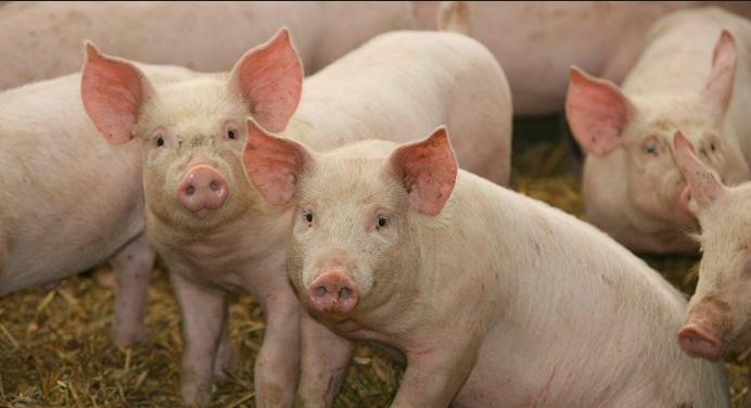 Científicos «resucitan» cerebros de cerdos muertos en EE. UU