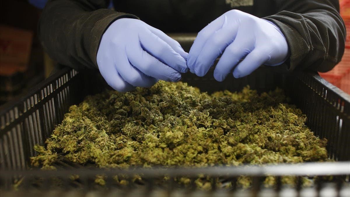 Canadá, el gran laboratorio de la marihuana