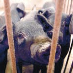 In this May 8, 2019, photo, pigs stand in the nearly-empty barn of a pig farmer who said he lost hundreds of pigs to an unknown illness in Jiangjiaqiao in northern China's Hebei Province. Asian nations are scrambling to contain the spread of the highly contagious African swine fever with Vietnam culling 2.5 million pigs and China reporting more than a million dead in an unprecedentedly huge epidemic some governments fear has gone out of control. (AP Photo/Mark Schiefelbein)