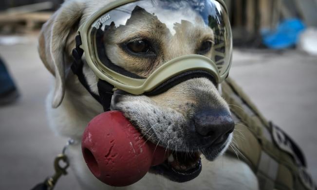 Jubilan a la perra Frida, ícono rescatista en los sismos en México en 2017