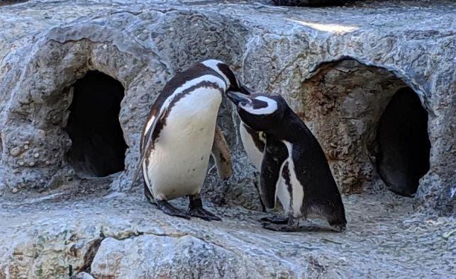 """Una pareja de pingüinos gays, padres """"ejemplares"""" en el zoo de San Francisco"""