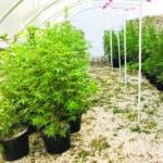 La Dirección Nacional de Control de Drogas (DNCD) y miembros del Ministerio Público, desmantelaron un invernadero para sembrar y cultivar marihuana, en cuyo operativo ocuparon 286 plantas del vegetal, en el patio de una vivienda de la provincia la Altagracia. Fuente Externa.