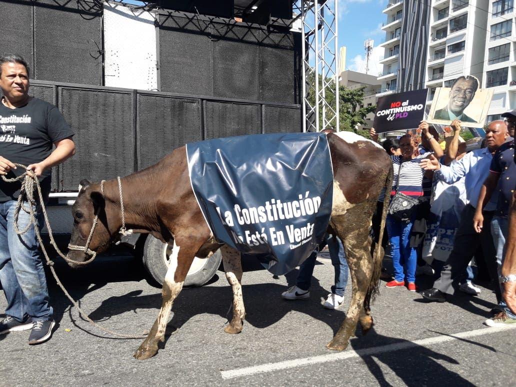 Hombre lleva una vaca a manifestación en Congreso Nacional para entiendan que la Constitución no es como un animal, que se puede comprar