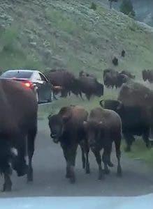 Video: Bisonte embiste y daña un auto en Yellowstone