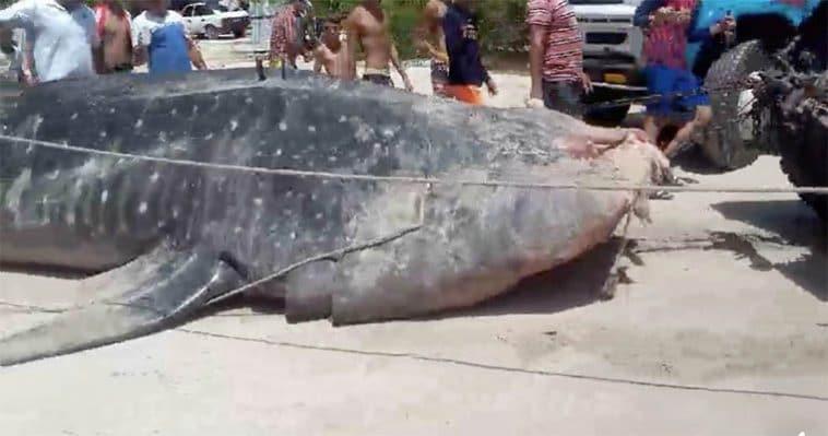 Video: Cadáver de tiburón ballena de 2,7 toneladas aparece en costa noreste de Cuba