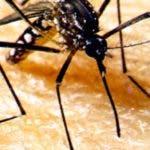 Aedes aegypti, mosquito transmisor del DENGUE