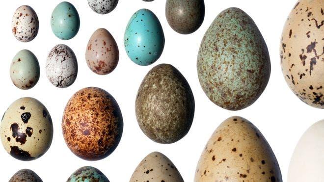 Vea aquí el por qué los huevos son de diferentes colores