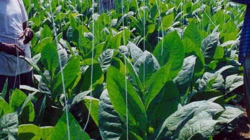 Cosecheros de tabaco trabajan en una plantacion de tabaco pertenciente al INTABACO la cual esta localizada en una zona productiva de esta planta. Foto Cortesia: INTABACO Archivo: El Nacional/Reynaldo Brito Contact Paper 11/06/03