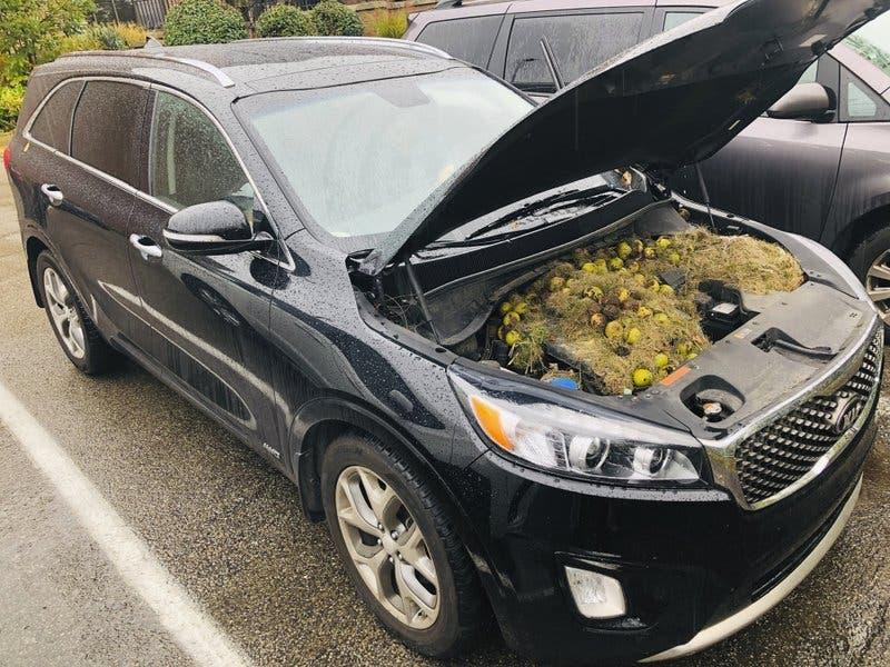 Ardillas esconden más de 200 nueces en motor de camioneta