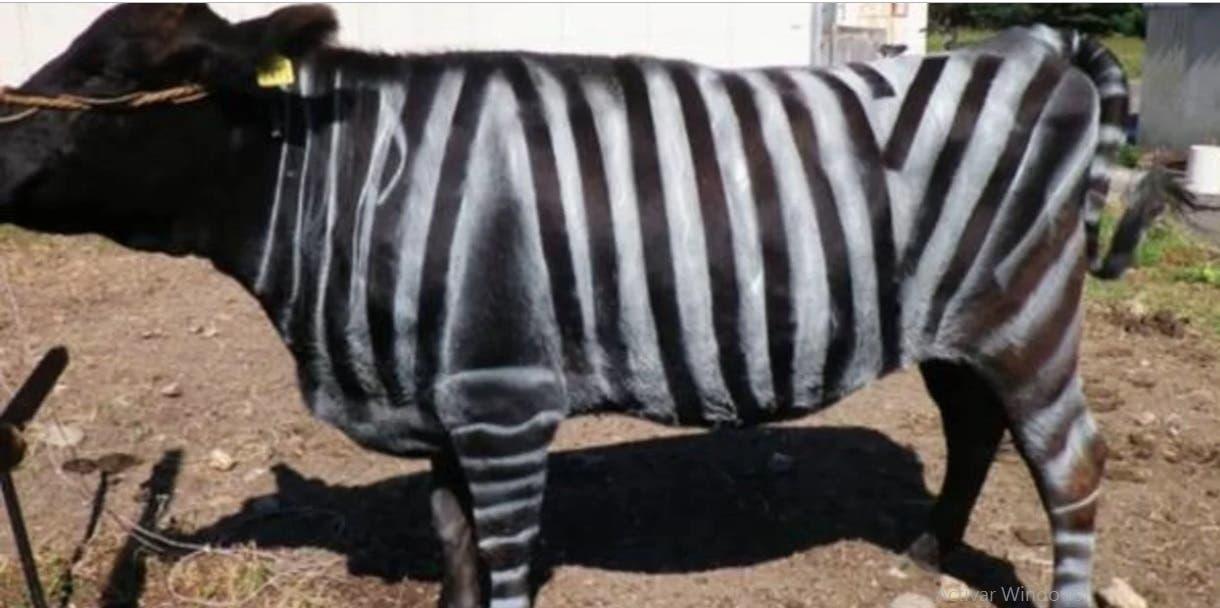 Pintan vacas como cebras como alternativa sostenible a pesticidas