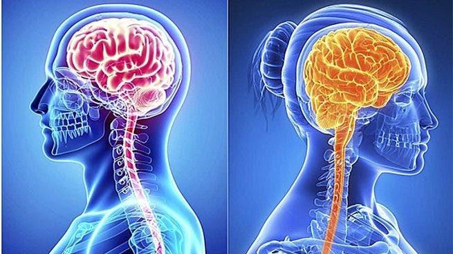 Las diferencias de los cerebros femenino y masculino