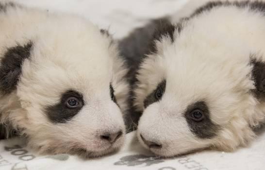 Zoológico difunde fotos de cachorros panda gemelos en Berlín