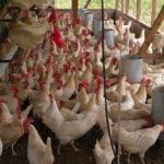En las granjas de los recintos hay gallinas ponedoras, cerdos y hasta ovejas. Estas gallinas son del centro Vista del Valle, en San Francisco de Macorís. Marien Aristy Capitán 05-09-09