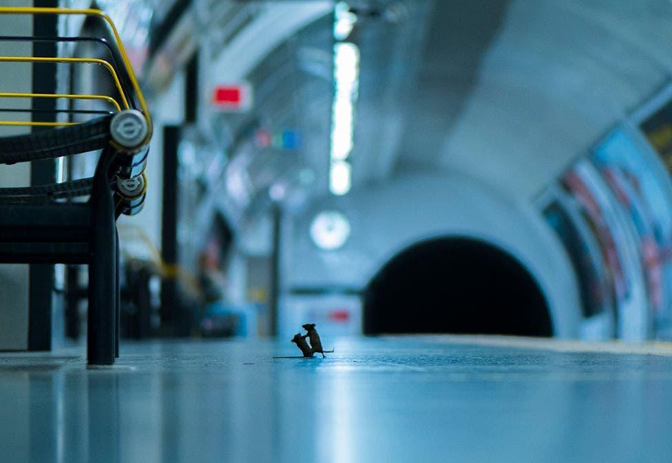 ¡Sorprendente! Captan imagen de dos ratones peleando en el metro