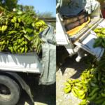 La carga venía oculta debajo de plátanos. Fuente externa.